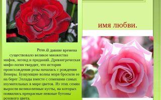 Что означает имя роза – характеристика имени роза, толкование имени роза